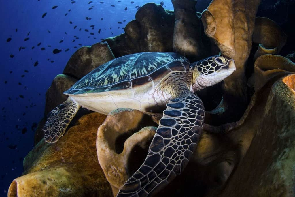 Turtle, Bunaken National Park